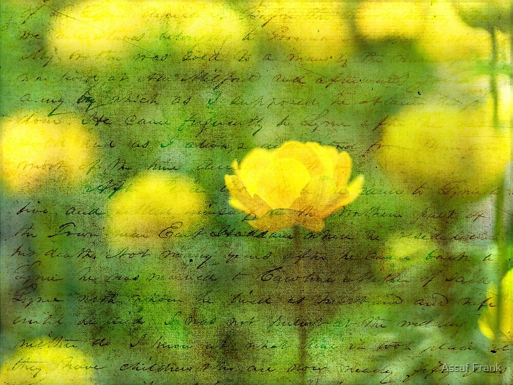 Beautiful Yellow Anemone flowers by Assaf Frank