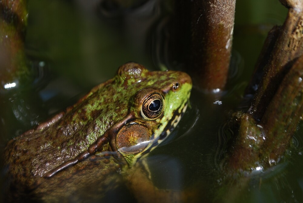 Green Frog by TheDragonLady23