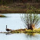 Canada Goose by TracyL72