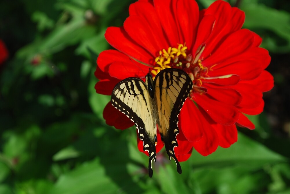 Swallowtail Butterfly by TheDragonLady23
