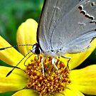 Resting - Colorado Hairstreak Butterfly - Sherman, Texas, USA by aprilann