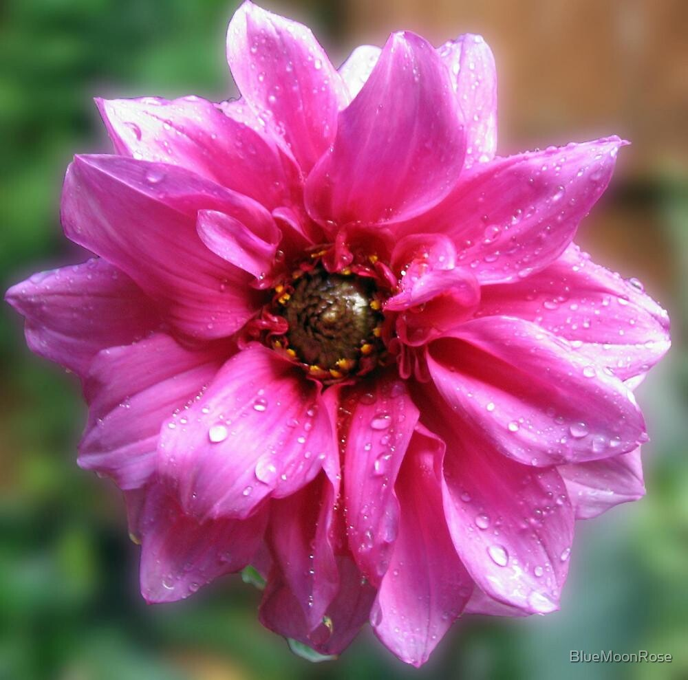 Sparkling Pink 'Fascination' Dahlia by BlueMoonRose