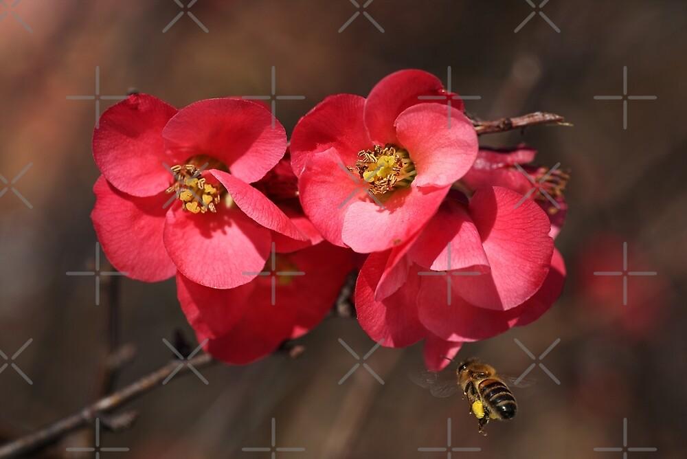 Yum - Flowering Quince by Joy Watson