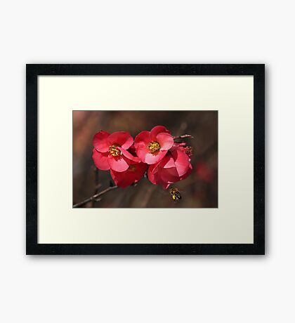 Yum - Flowering Quince Framed Print