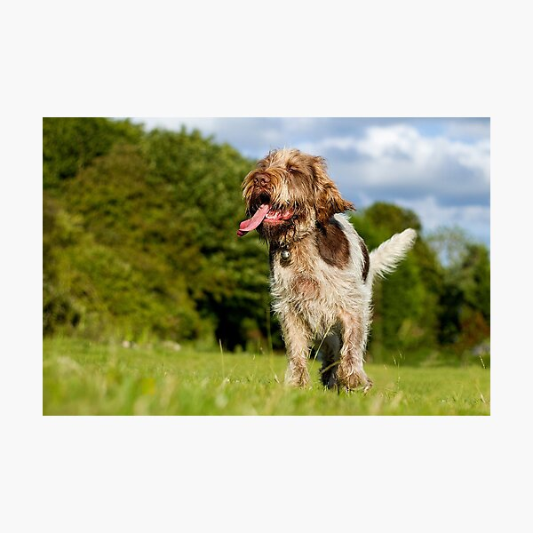 Savouring the moment Spinone Photographic Print