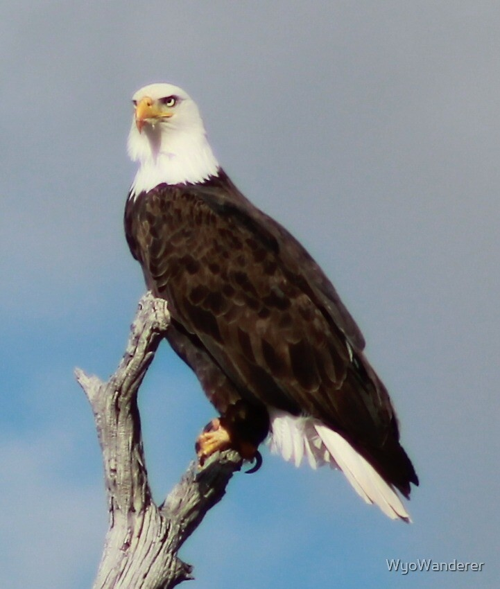 Eagle by WyoWanderer