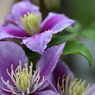 Clematis in Purple by mikrin