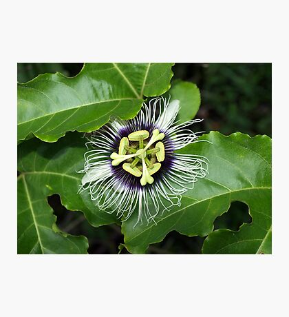 Yellow Passion Fruit Flower Photographic Print