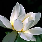 White Lotus by sstarlightss