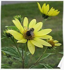 Bee on False Sunflower Poster