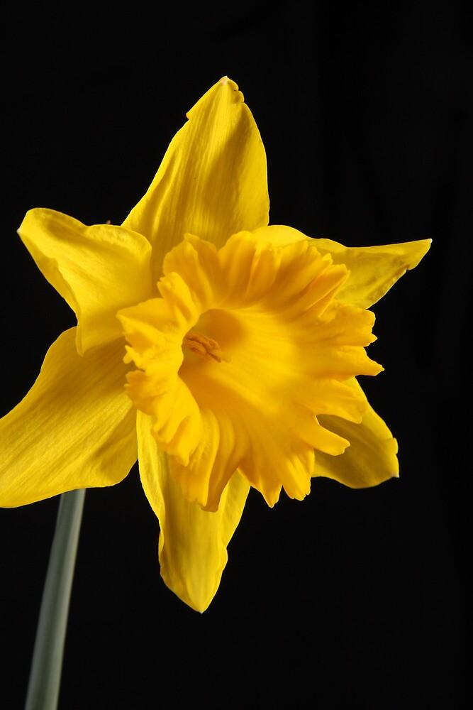 Daffodil by Thomas Anderson