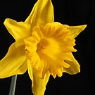 Daffodil by Thomas Anderson