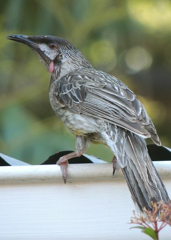 Red wattlebird - Anthochaera (Anthochaera) carunculata by Dan Monceaux