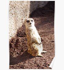 Cute Meercat Poster