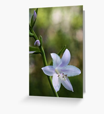 Hosta Blossoms - Late Afternoon Light Greeting Card