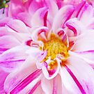 Dahlia Flower Pink White Floral art print Baslee Troutman by BasleeArtPrints