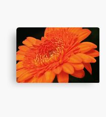 Vibrant orange gerbera daisy Canvas Print