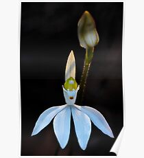 Lady Finger Orchid Poster