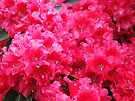 Red Pink Rhododendrons Flowers art print Floral Baslee by BasleeArtPrints