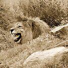 Lions roar by Klaus Bohn