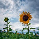 Sunflowers by Michael Mill