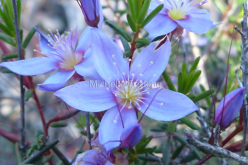 "purple star flower"" by michelle cocking  redbubble, Beautiful flower"