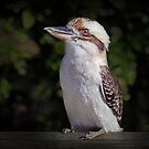 The Kookaburra by Tainia Finlay