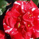 Camellia Red & White - Gippsland by Bev Pascoe