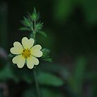Cinquefoil by deb cole