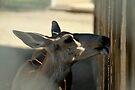 Mule Deer...My this fence tastes good... by Corri Gryting Gutzman