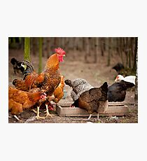 Rhode Island Red chickens Photographic Print