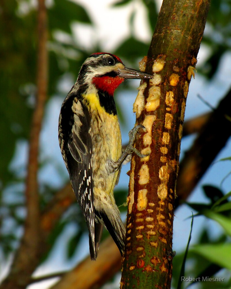Yellow-bellied Sapsucker Enjoying His Sweet Meal by Robert Miesner