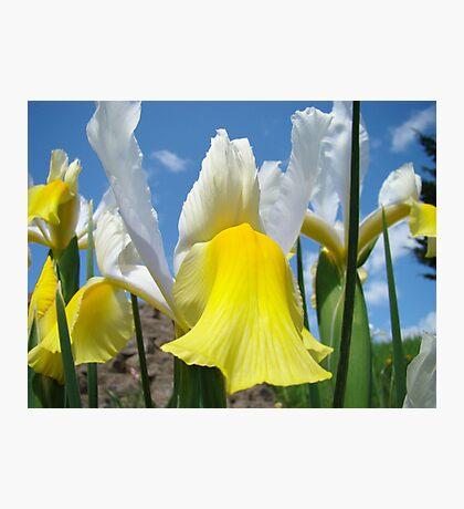 Floral Yellow White Irises Flowers art prints Baslee Troutman Photographic Print