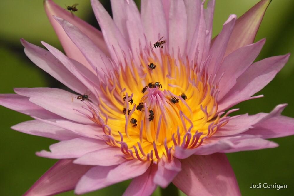 Lotus 2 by Judi Corrigan