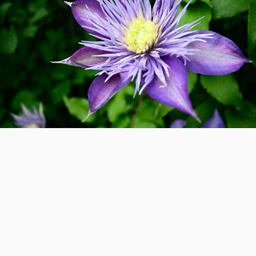 Clematis by MBTheriault