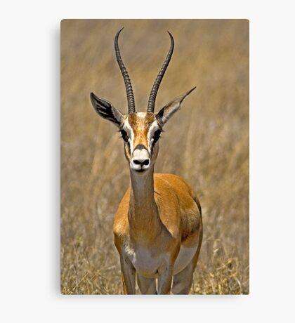 Grant's Gazelle (Nanger granti) Canvas Print