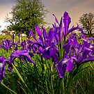 Wild Iris and Light by Charles & Patricia   Harkins ~ Picture Oregon