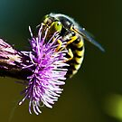 Sand Wasp on a Thistle by David Friederich