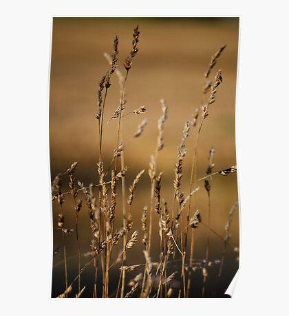 Golden Grasses Poster