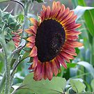 Sunflower of a different color by vigor