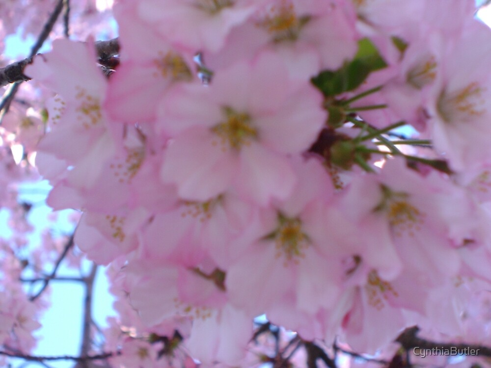 Cherry Blossoms by CynthiaButler