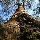 Giant Tree, Darlimurla vic by Sherie Howard