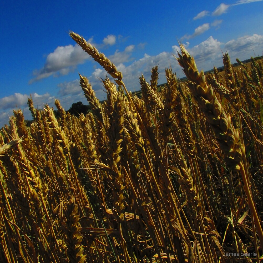 Golden Wheat by James Searle