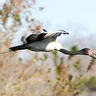 Saddle-billed Stork by Michael  Moss