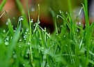 Dew on the Lawn by AnnDixon