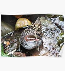 Buff-banded Rail Poster