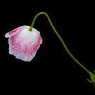 Single Poppy by Aase