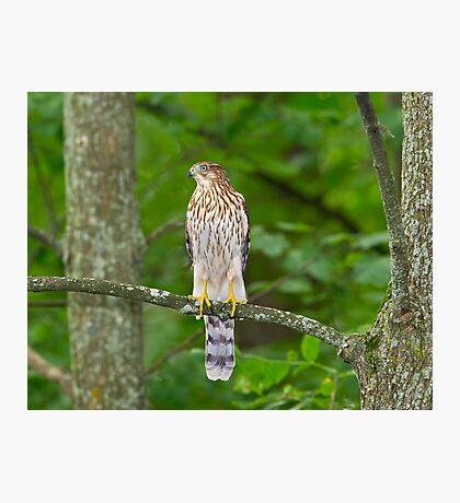 Cooper's Hawk  Photographic Print