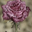 Rose in the rain by Mark Pelleymounter