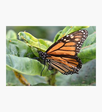 Amazing Monarch Photographic Print